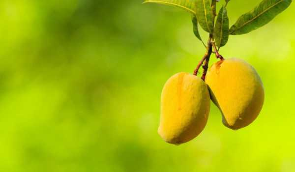 Road Trips for Mango Lovers to Savor the King of Fruits